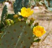 Desert Flower Yellow Blooms. The desert cactus blooms bright yellow flowers Royalty Free Stock Photo