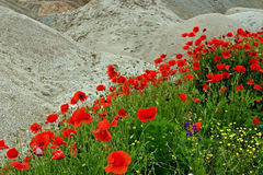 Desert and flowers 1 Stock Photos