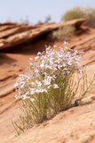 Desert Flowers Stock Photos