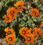 Desert flowers Stock Images