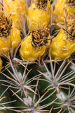 Desert Flowers. Vegetation of the Sonoran Desert Stock Photos