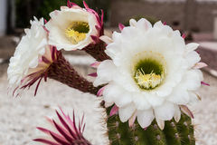 Desert Flowers Royalty Free Stock Images