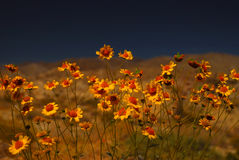 Desert Flowers. Wild flowers in early spring Anzo Borrego Desert Royalty Free Stock Photo