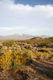 Desert flowers blooming. Yellow flowers bloom in the desert with mountains in the background Stock Photography