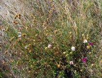 Desert Flowers, Eyre Peninsula. Desert flowers, inland Eyre Peninsula (Australia Royalty Free Stock Photos