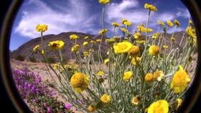 Desert Flowers FISH EYE Joshua Tree Park California. Desert Flowers FISH EYE lens Joshua Tree Park California California USAn©2015 J. Stuart Edmondson stock footage