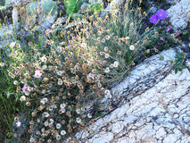 Desert flowers, flowers grow out of the rocks Stock Images