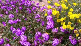 Desert Flowers Wind 4 Joshua Tree National Park California stock video