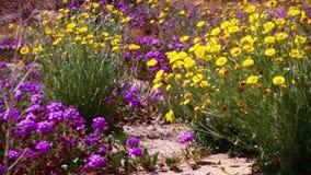Desert Flowers Wind 5 Joshua Tree National Park California. National Park California USA stock video footage