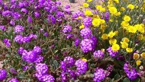 Desert Flowers Wind 6 Joshua Tree National Park California stock video footage