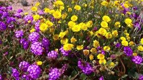 Desert Flowers Wind 7 Joshua Tree National Park California. National Park California USA stock footage