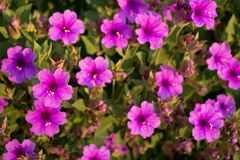 Desert Four O`clock in Bloom. Desert Four O`clock Mirabilis multiflora blooming in a garden. Magenta flowers open with the sun Royalty Free Stock Images