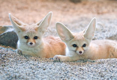 Desert fox Royalty Free Stock Photography