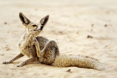 A Desert Fox Royalty Free Stock Photos