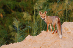 Desert fox Stock Photography