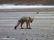 Desert fox at bilivian altiplano desert Royalty Free Stock Images