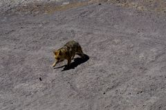 Desert Fox Coyote Altiplano Bolivia. Photo taken in August 2017 in Altiplano Bolivia, South America: Desert Fox Coyote Altiplano Bolivia Royalty Free Stock Photos