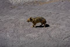 Desert Fox Coyote Altiplano Bolivia. Photo taken in August 2017 in Altiplano Bolivia, South America: Desert Fox Coyote Altiplano Bolivia Royalty Free Stock Photography