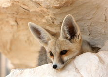 A Desert Fox in Egypt Royalty Free Stock Photos