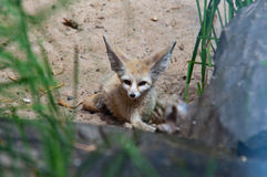 Desert fox Fennec Fox. (Vulpes zerda Royalty Free Stock Images