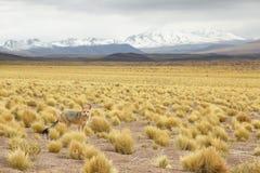 Desert Fox Stock Images