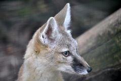 Desert fox in natural habitat Stock Photography