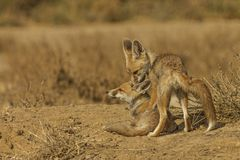 Desert Fox Pups. In playful mood during a winter morning at LRK, Gujarat, India Royalty Free Stock Images