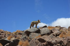 Desert fox on rocks Royalty Free Stock Images