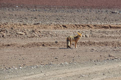 Desert Fox in Sur Lipez, South Bolivia Royalty Free Stock Image