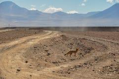Desert Fox in Sur Lipez, South Bolivia Royalty Free Stock Image