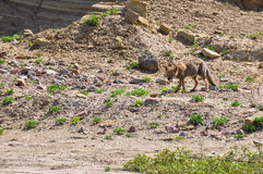 Desert fox in Valle de la Luna, Argentina Royalty Free Stock Images