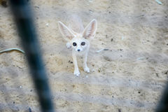 Desert fox in Zoo Royalty Free Stock Photos