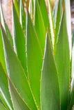 Desert garden agave Stock Photography