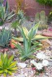 Desert garden agave Stock Image