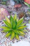 Desert garden agave Stock Images