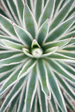 Desert garden agave Royalty Free Stock Photos