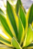 Desert garden agave Royalty Free Stock Image