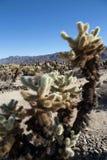 A Garden of Chula Teddy Bear Cactus royalty free stock image