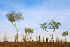 Desert Garden of Spindly Trees Royalty Free Stock Photo