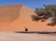 Desert Gemsbok Royalty Free Stock Photo