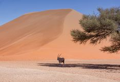 Desert Gemsbok Royalty Free Stock Photography