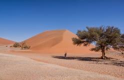 Desert Gemsbok. A Gemsbok antelope taking shelter from the sun under a tree in the Namibian desert Stock Image