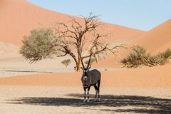 Desert Gemsbok Royalty Free Stock Photos