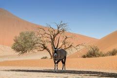 Desert Gemsbok. A Gemsbok antelope taking shelter from the sun under a tree in the Namibian desert Royalty Free Stock Photography
