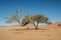 Desert Gemsbok. A Gemsbok antelope taking shelter from the sun under a tree in the Namibian desert Royalty Free Stock Images