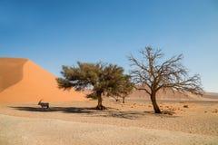 Desert Gemsbok. A Gemsbok antelope taking shelter from the sun under a tree in the Namibian desert Stock Photos