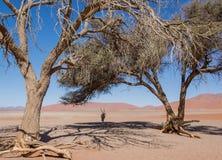 Desert Gemsbok. A Gemsbok antelope taking shelter from the sun under a tree in the Namibian desert Royalty Free Stock Photo