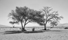 Desert Gemsbok. A Gemsbok antelope taking shelter from the sun under a tree in the Namibian desert Royalty Free Stock Image