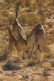 Desert Giraffe. Giraffe, Kalahari Desert, South Africa Stock Photo
