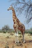 Desert giraffe looking left Stock Images